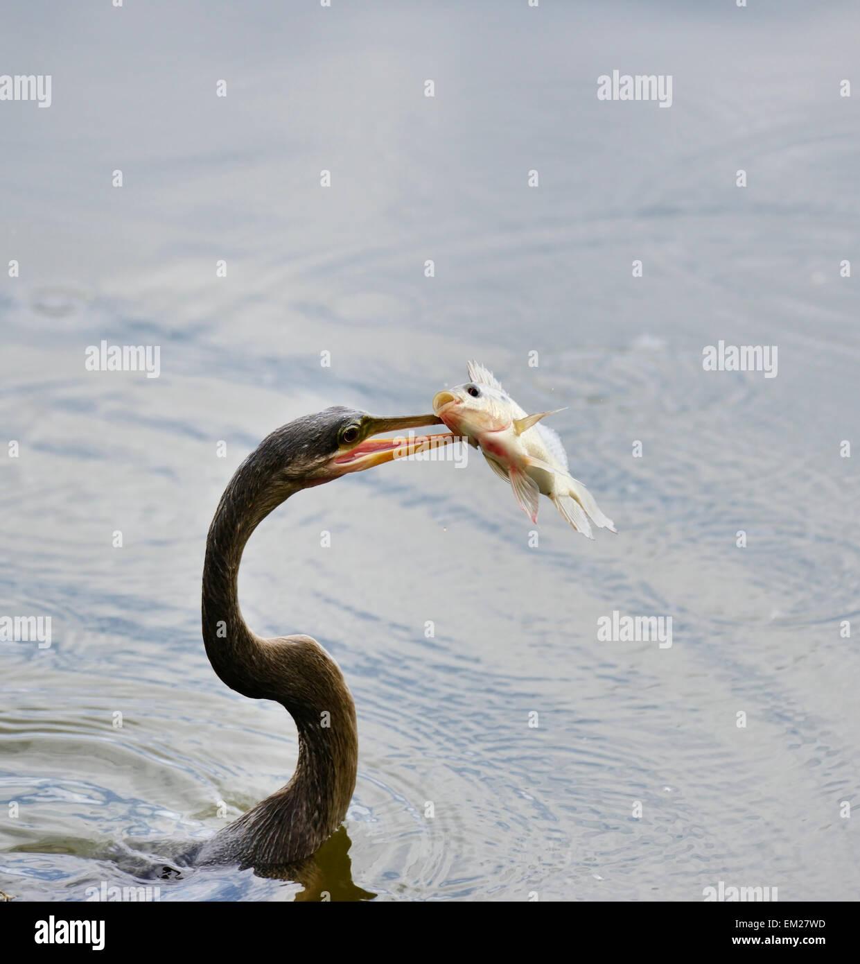 Anhinga Downing A Fish In Florida Wetlands - Stock Image