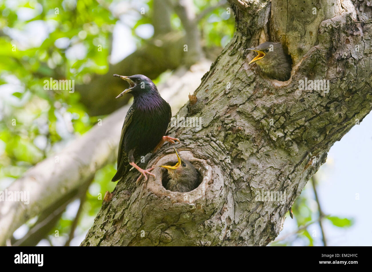European starling (Sturnus vulgaris), adult by its nest, with offspring, Thuringia, Germany - Stock Image