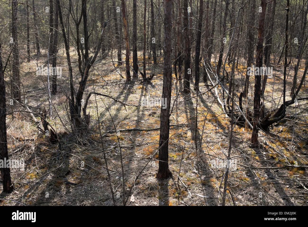 Fire damage in the floodplain forest, Isar, Pupplinger Au, Geretsried, Upper Bavaria, Bavaria, Germany - Stock Image