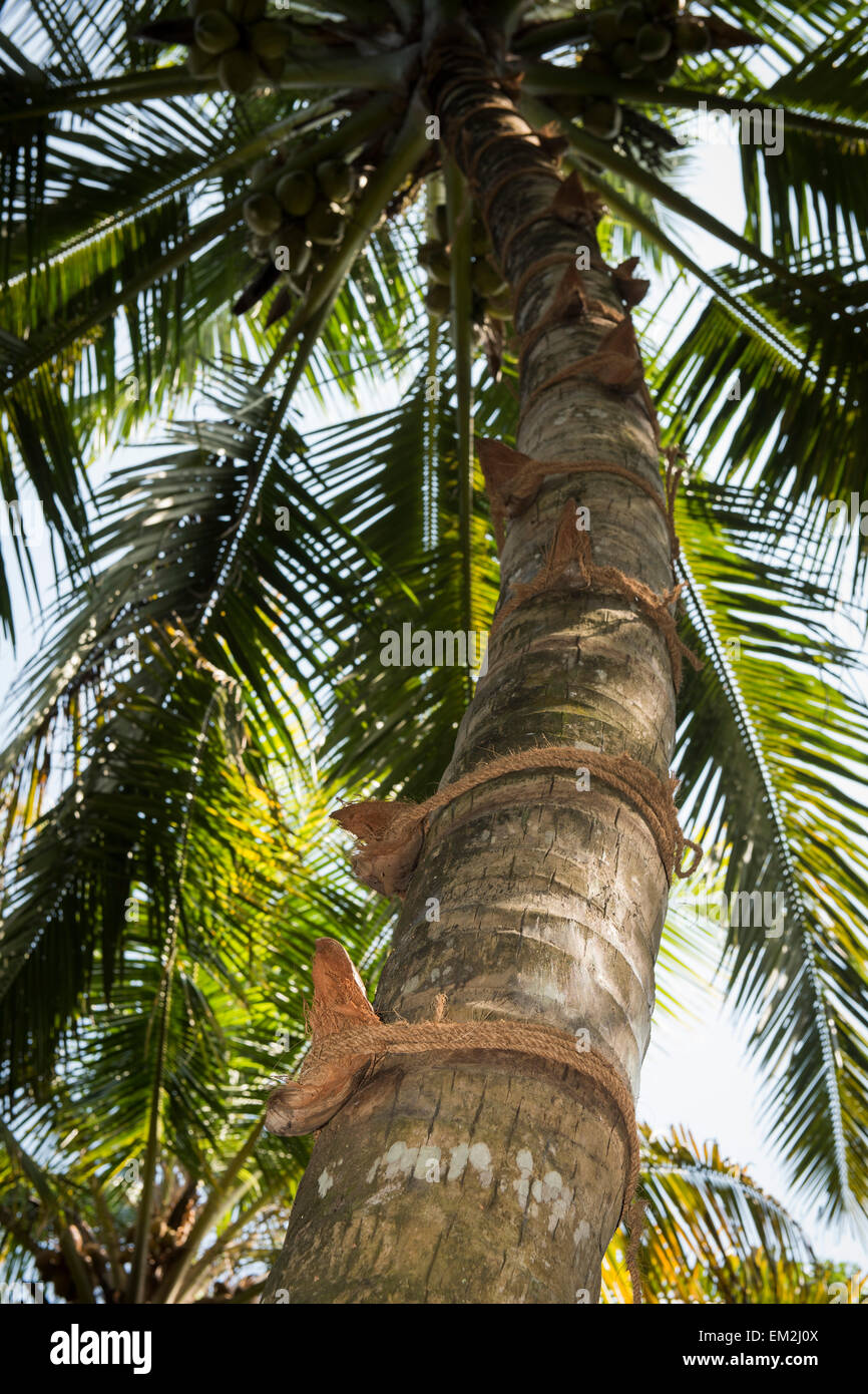 Coconut shells and coconut-fibre rope as climbing aid on a coconut tree, Kerala, India - Stock Image