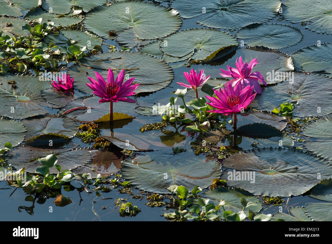 Kerala lotus flower stock photos kerala lotus flower stock images lotus flowers nelumbo vembanad lake kerala south india india izmirmasajfo