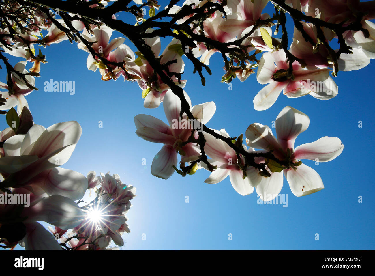 Spring sun shines through Magnolias during hot weather Borde HIll Gardens Sussex - Stock Image