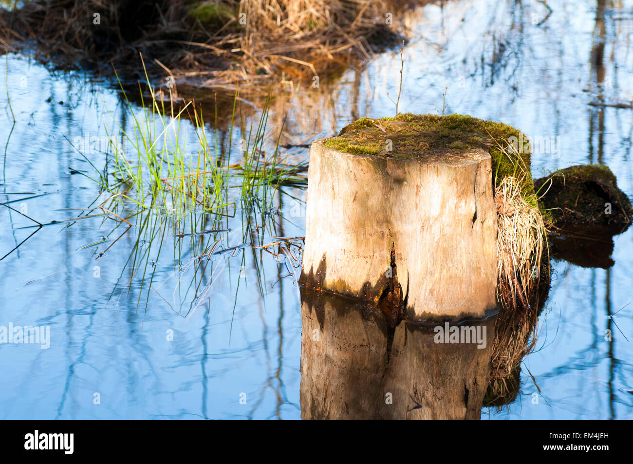 A stump with moss in a lake near the shore on a spring day. - Stock Image