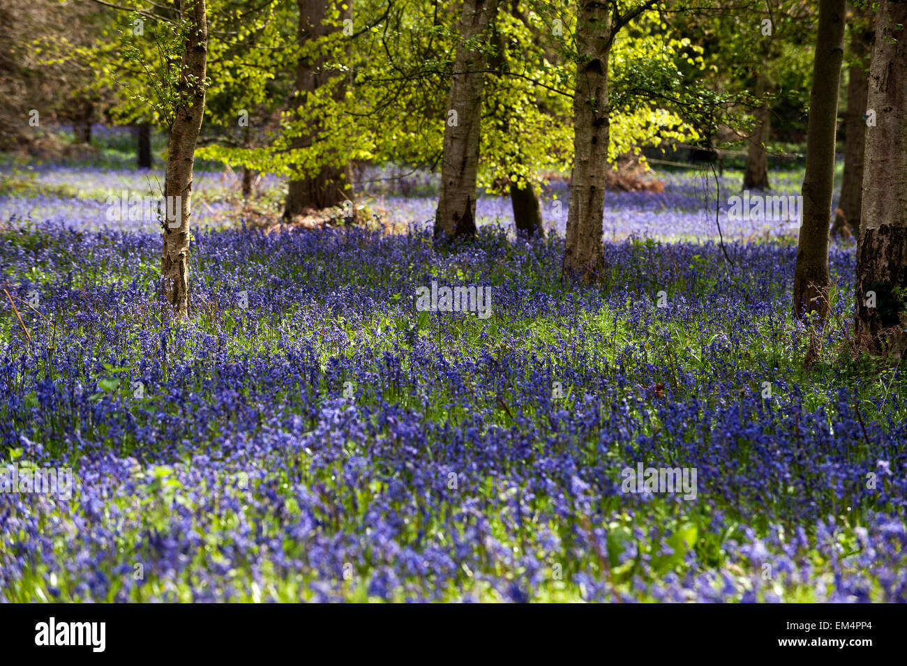 Bluebells(Endymion nonscriptus) on forest clearing england great britain UK europe - Stock Image