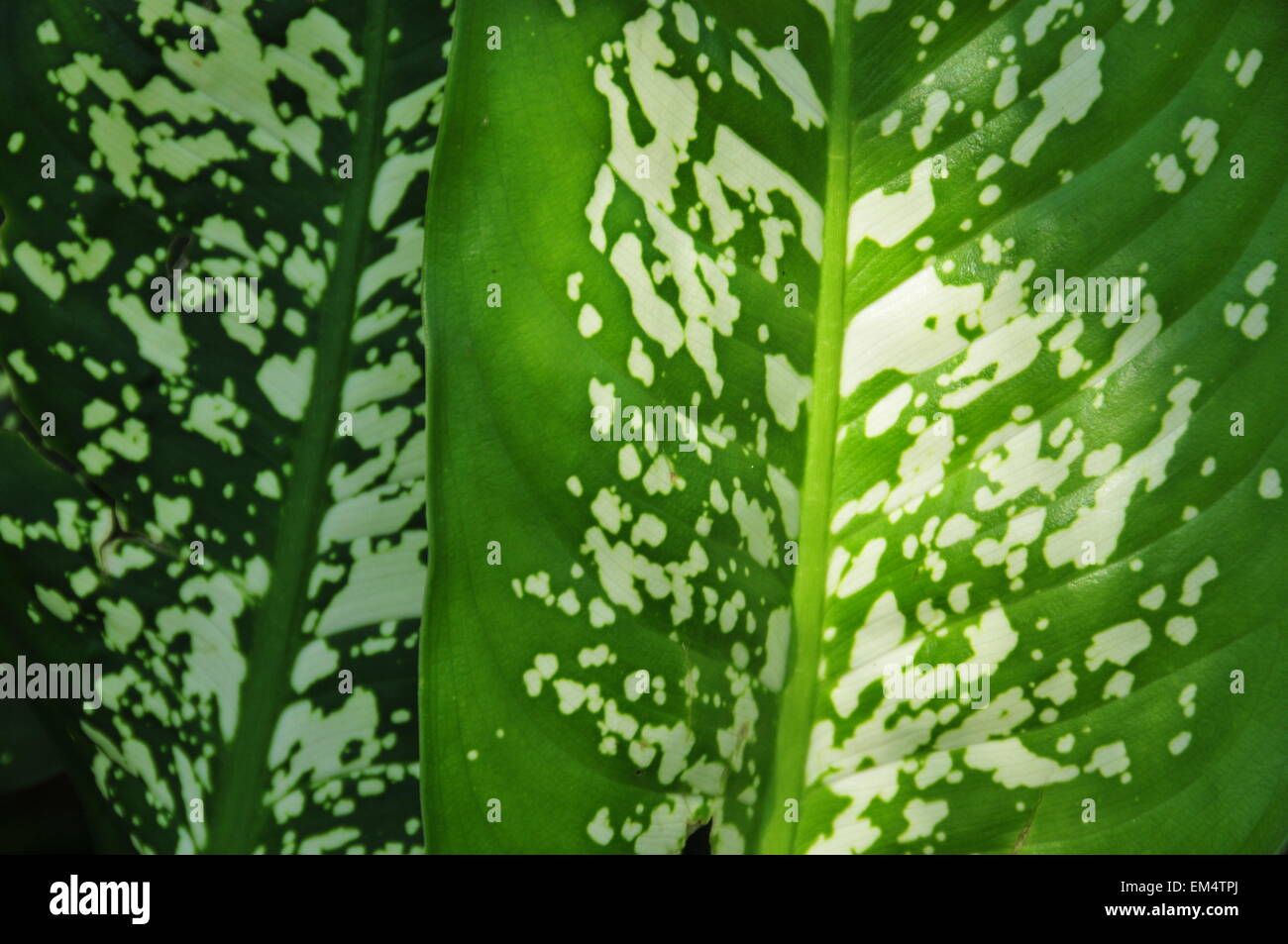Green and white textured leaf with narrow veins. - Stock Image