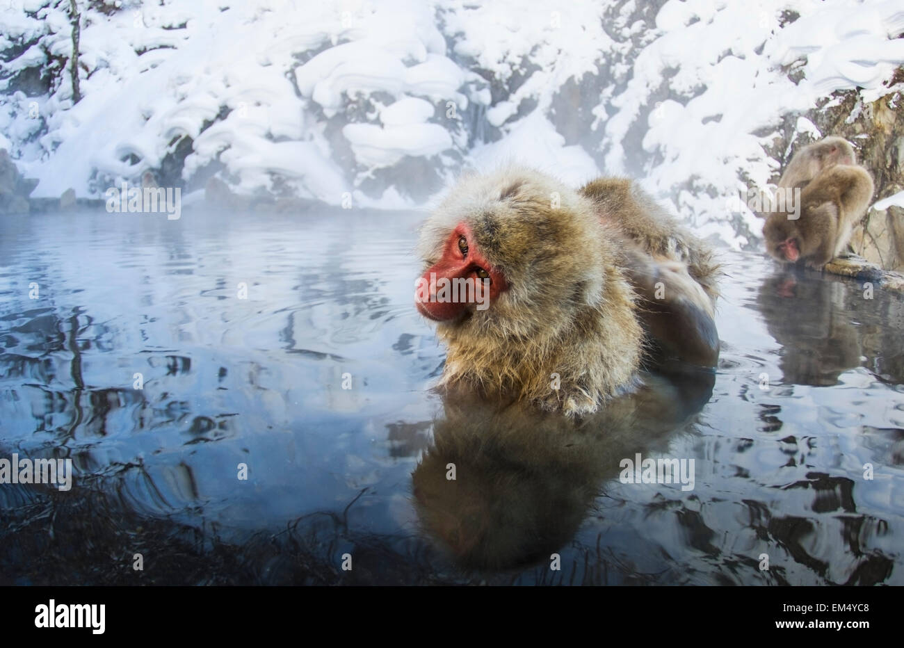 Japanese Macaque Monkey Soaking In Stock Photos & Japanese Macaque ...