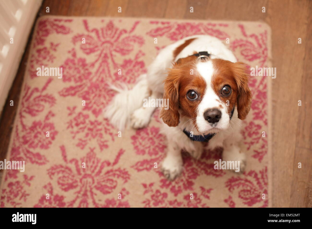 Spaniel waiting for a walk - Stock Image
