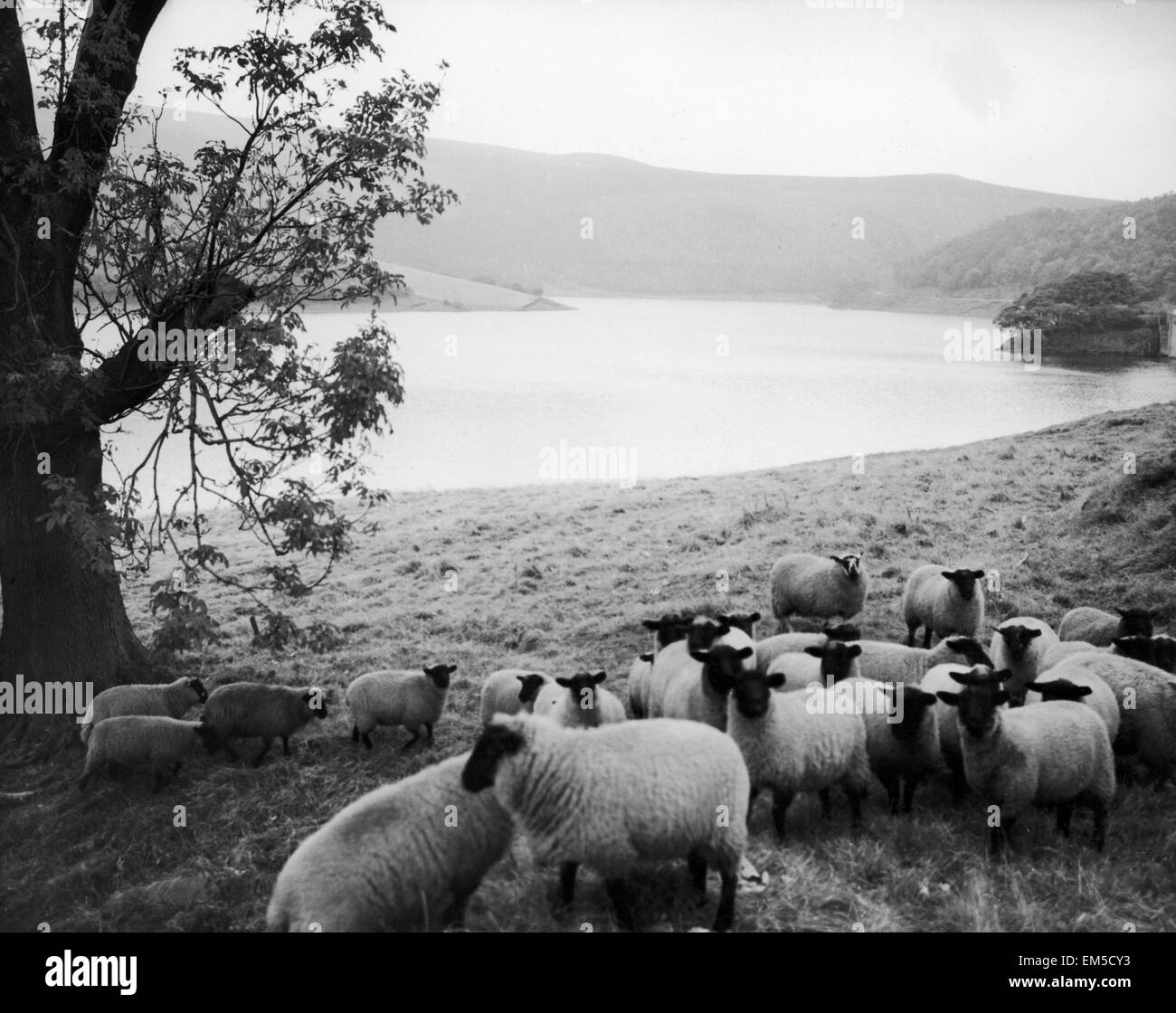 Ladybower Reservoir on the Snake Road to Sheffield. scenic - river lake hills trees Animals - Sheep February 1975. - Stock Image