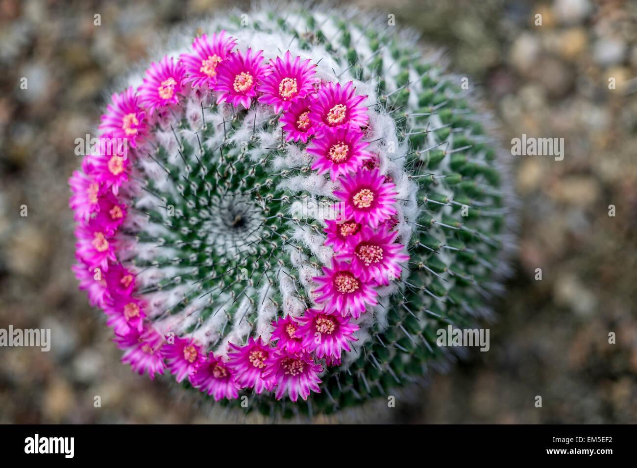 Cactus Mammillaria mammillaria sempervivi in full bloom - Stock Image