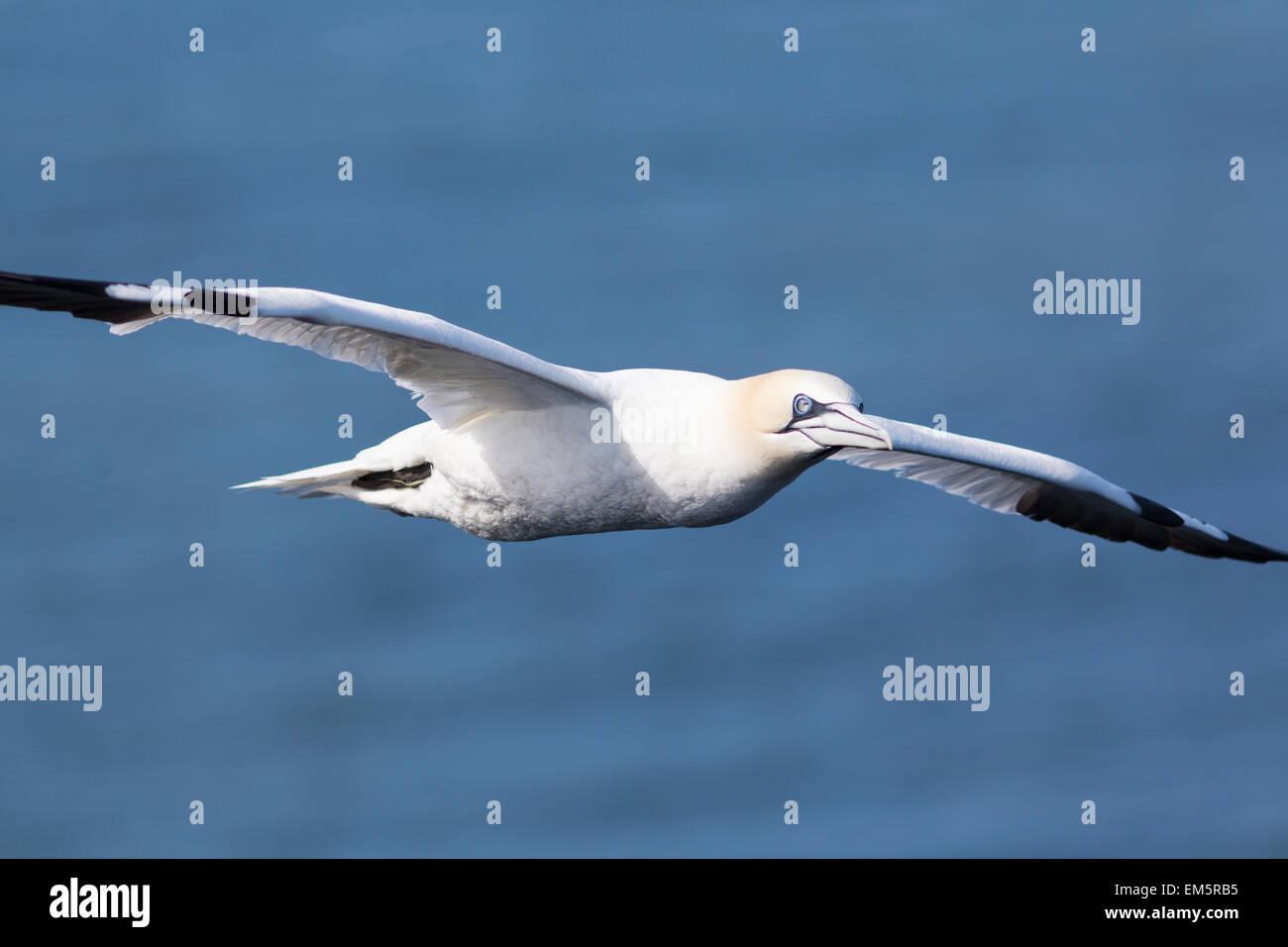 UK, Bempton Cliffs, Gannet in flight. - Stock Image