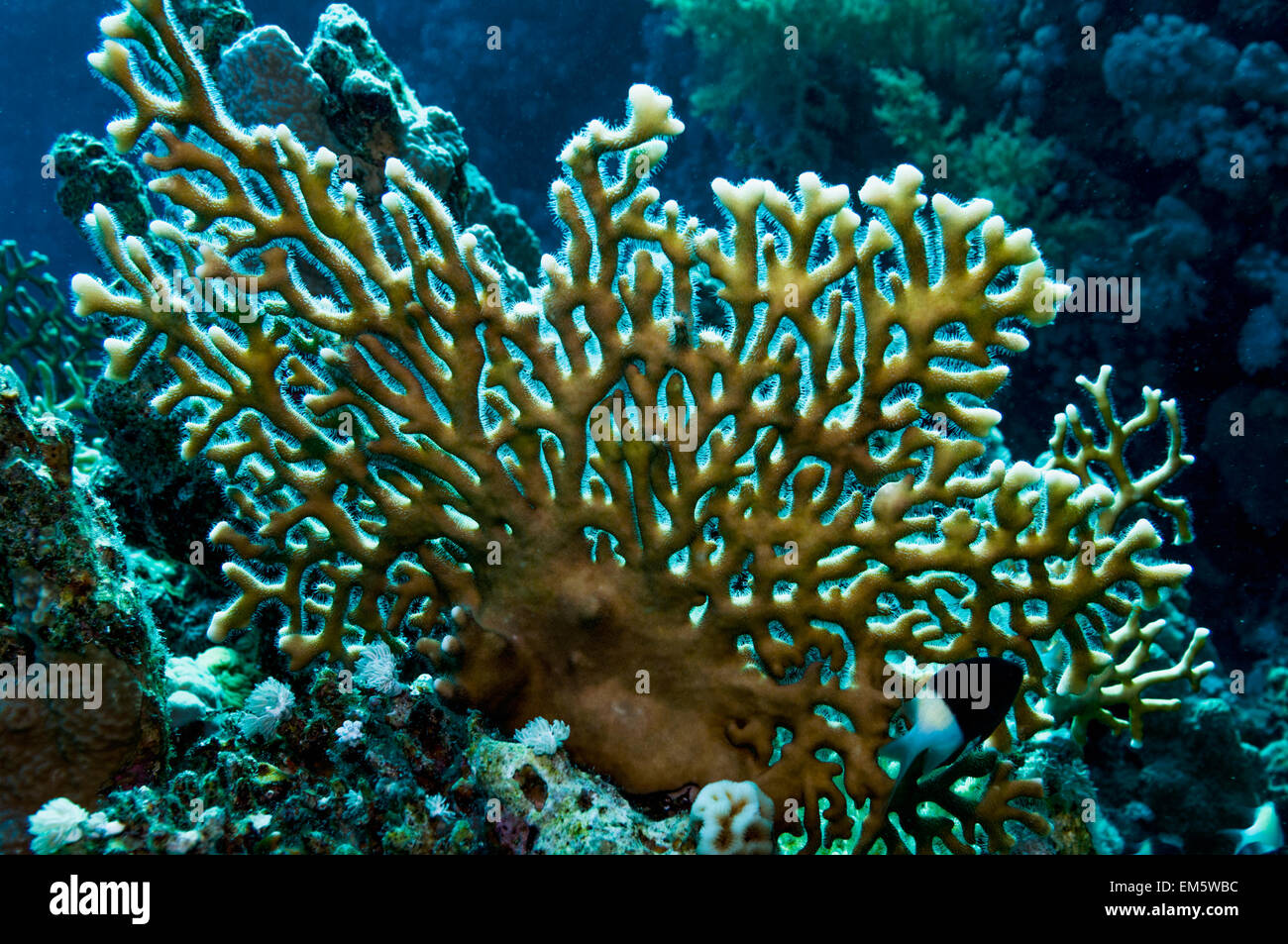 Fire coral (Millepora dichotoma). - Stock Image