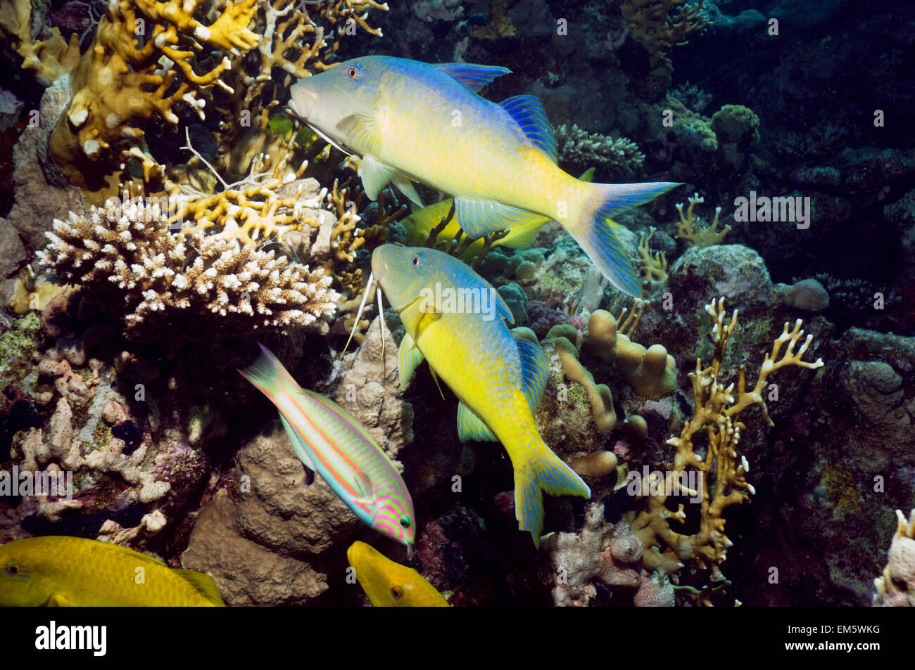 Yellowsaddle goatfish (Parupeneus cyclostomus) gang hunting over coral reef.  Egypt, Red Sea. - Stock Image
