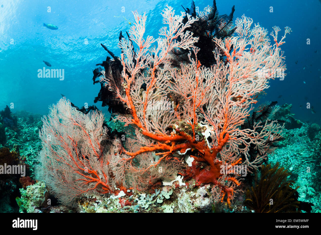 Gorgonian or sea fan with featherstars.  Misool, Raja Ampat, West Papua, Indonesia. Stock Photo