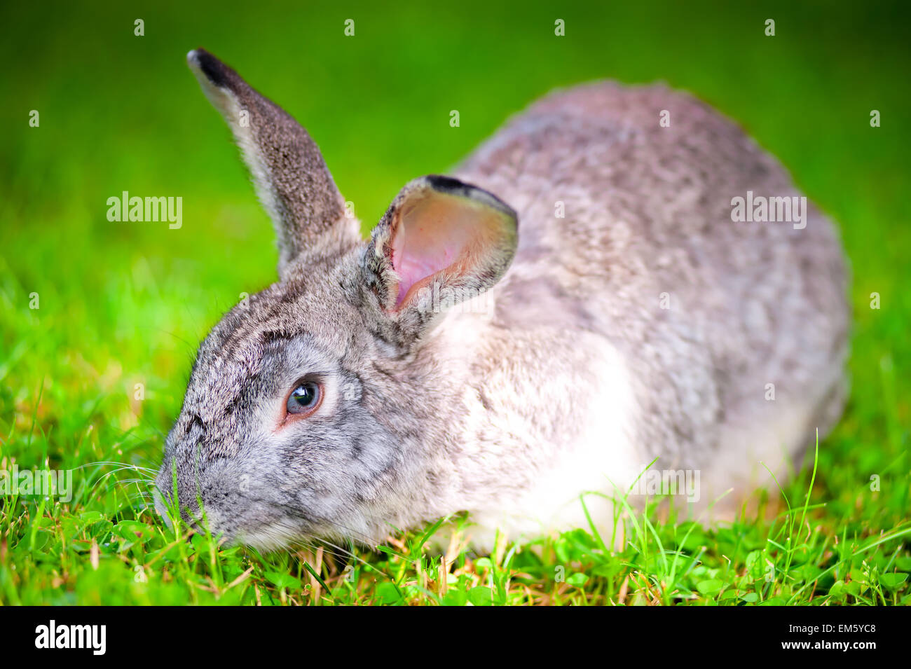 large pet rabbit eating green grass in the field - Stock Image