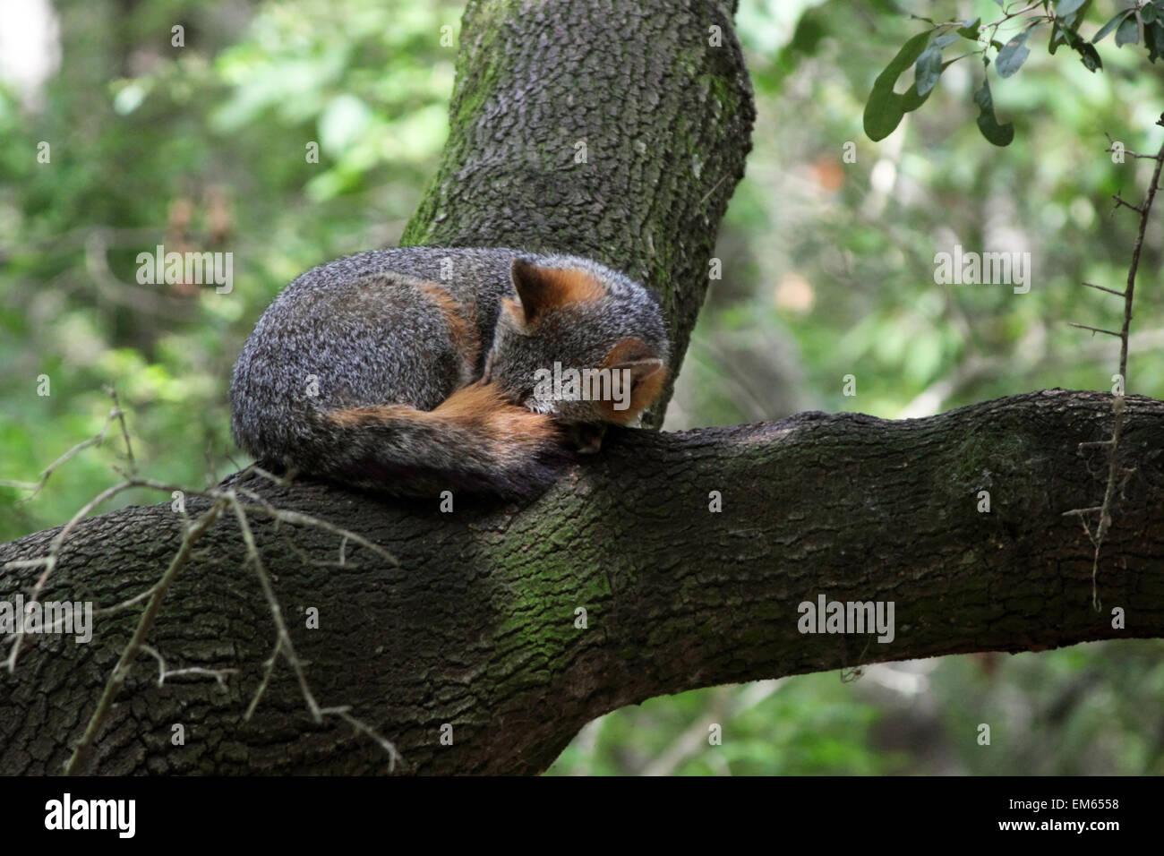 Napping Fox - Stock Image