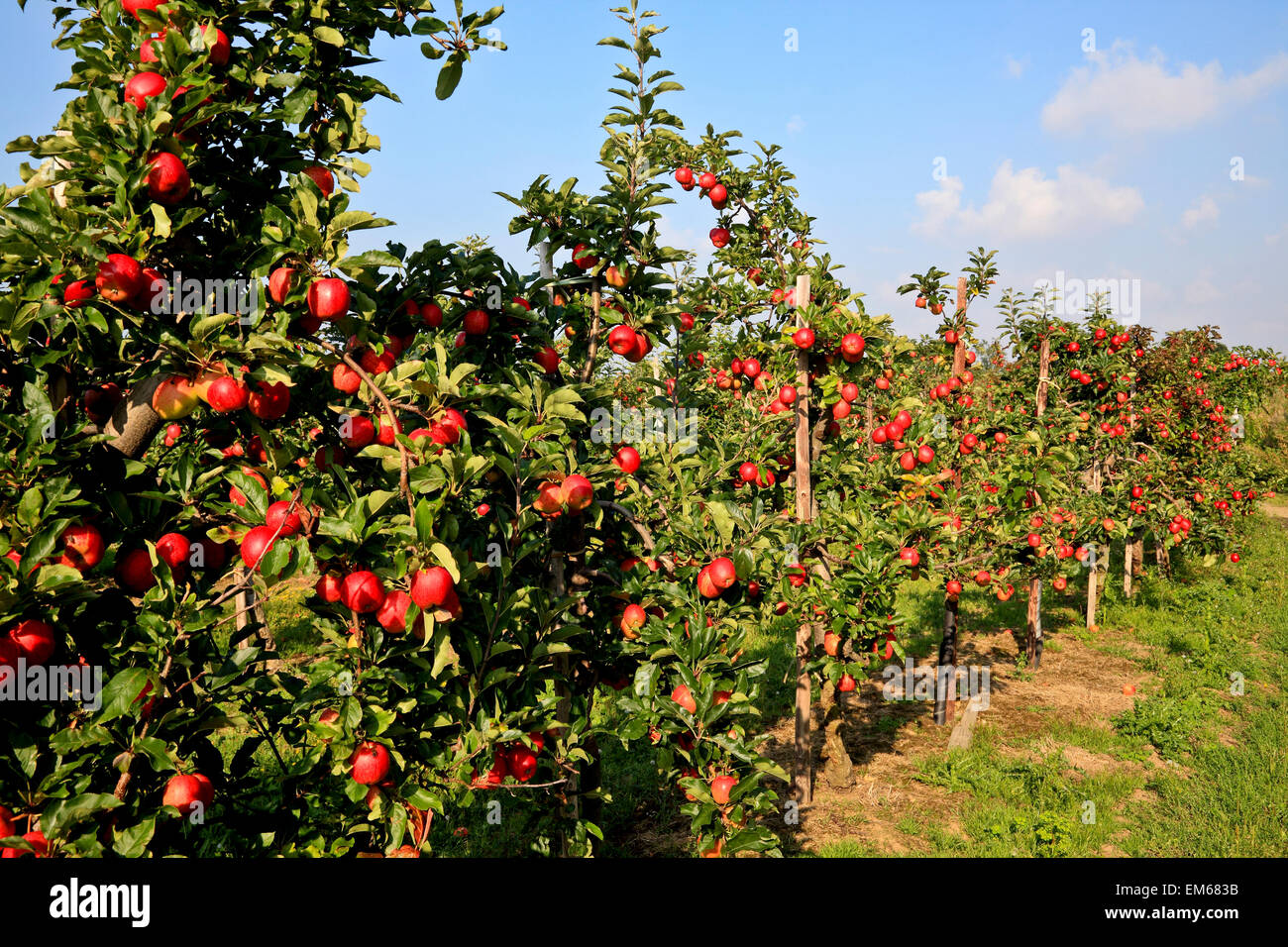 Rs 2144 Apple Orchard Broadoak Kent England Stock