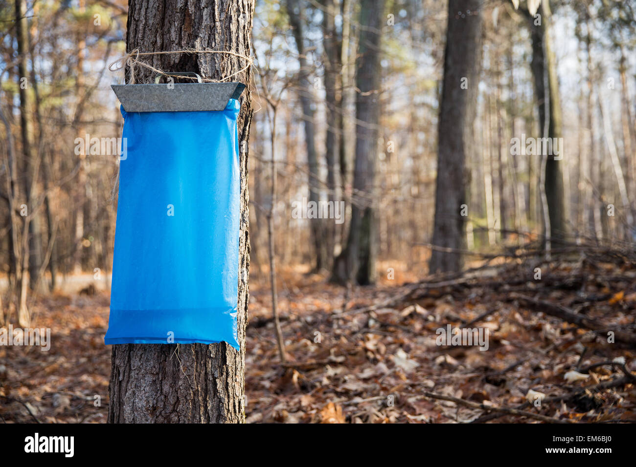 Tapping maple trees in the Spring to make maple syrup.  Early morning light and selective focus on the blue collection - Stock Image
