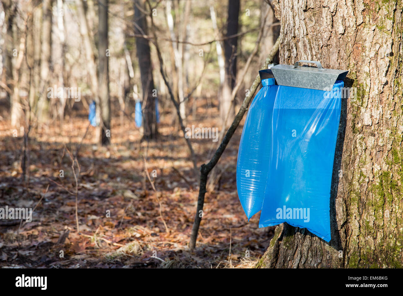 Tapping maple trees in the Spring to make maple syrup.  Selective focus on the bulging blue collection bags in the - Stock Image