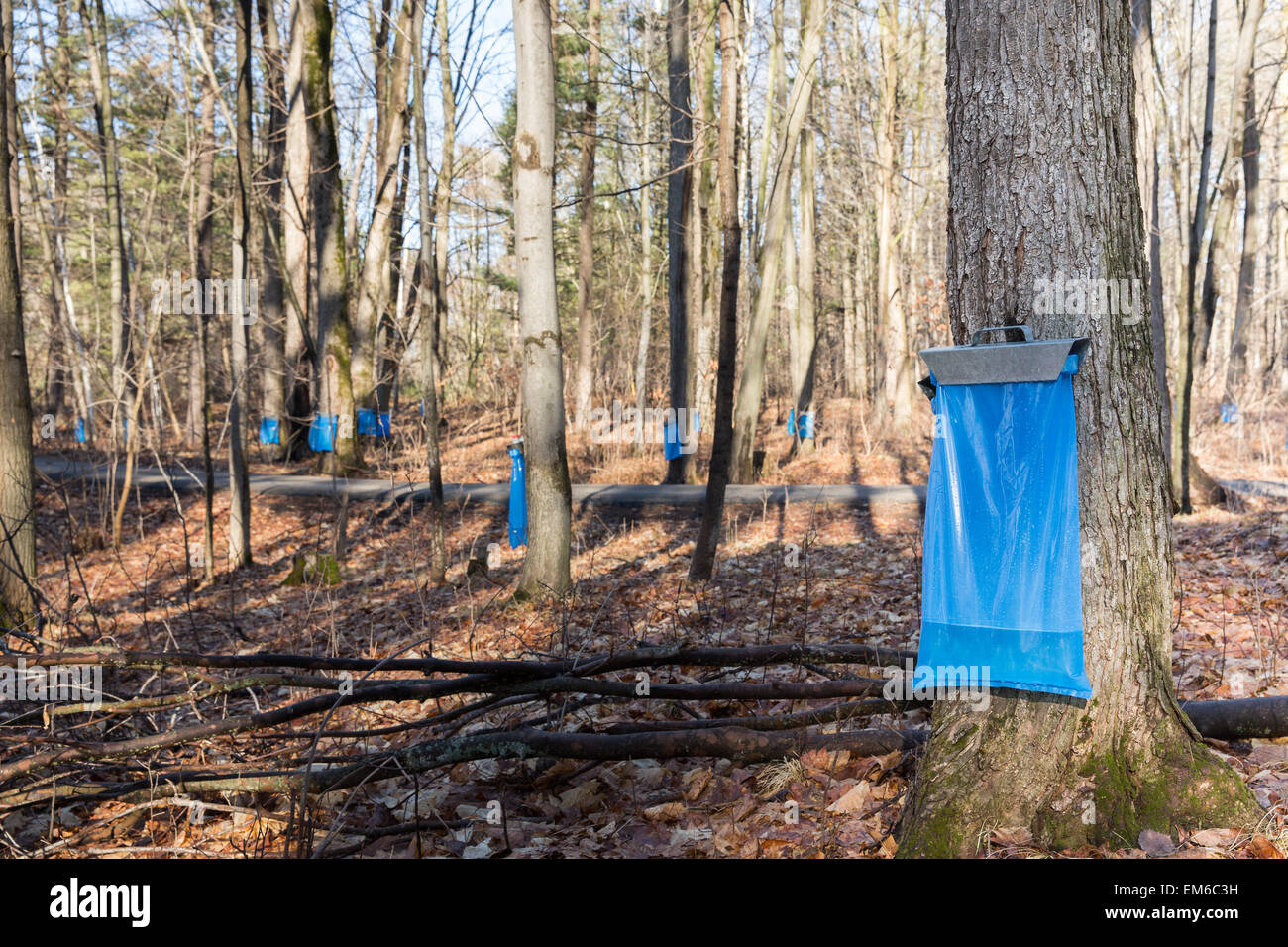 Tapping maple trees in the Spring to make maple syrup.  Blue collection bags collecting natural food using a traditional - Stock Image