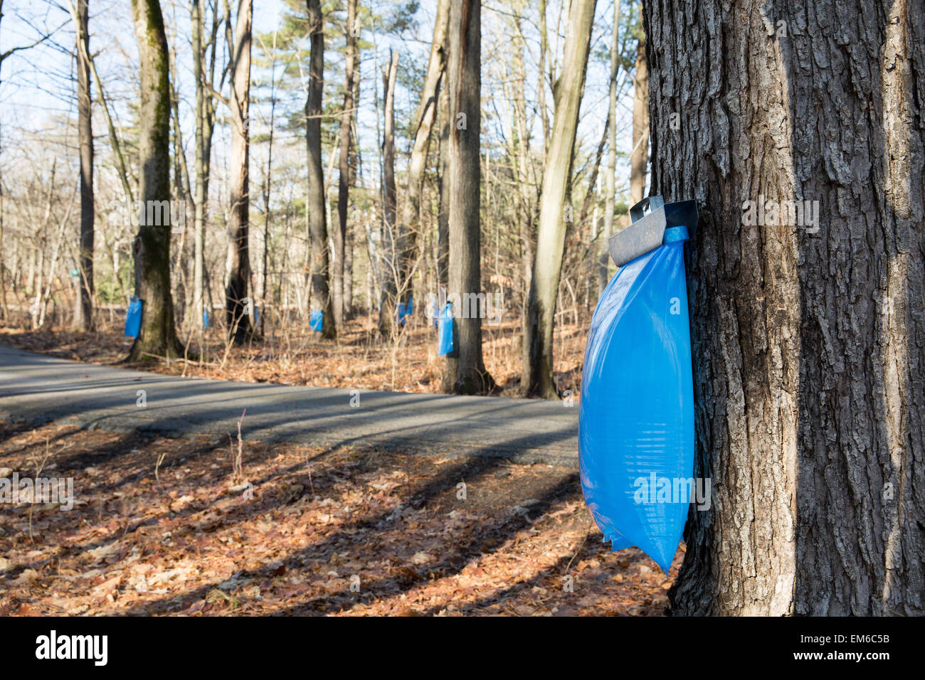 Tapping maple trees in the Spring to make maple syrup.  Selective focus on the bulging blue collection bag in the - Stock Image