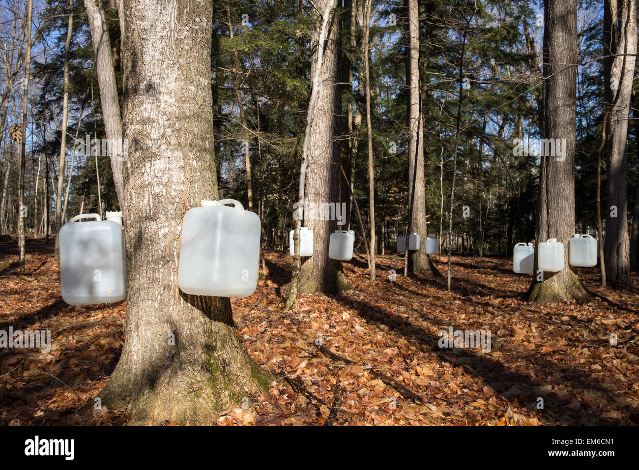Tapping sugar maple trees for their sap, which will be made into maple syrup.  Early morning light and long shadows. Stock Photo