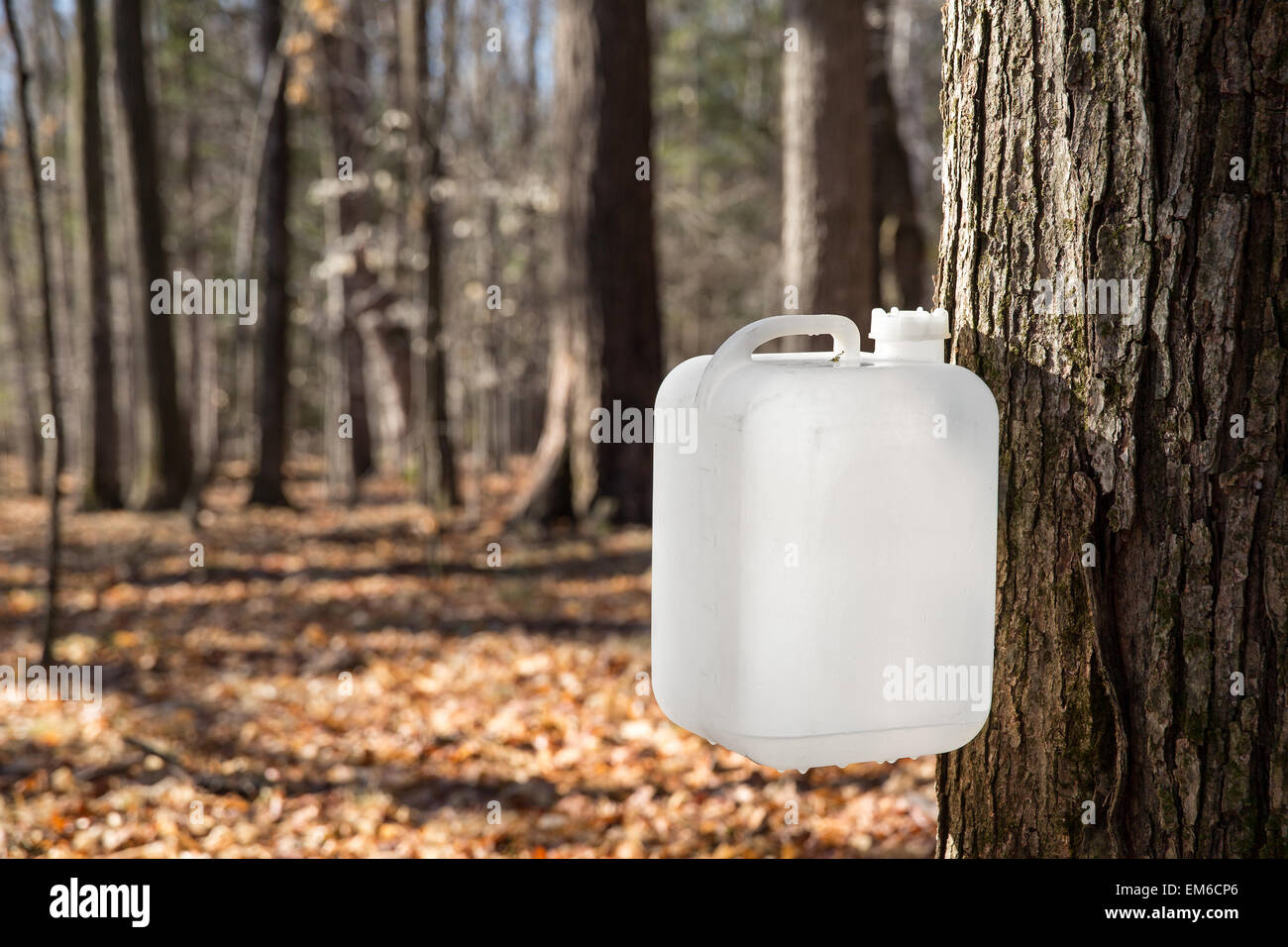 A white bottle is collecting sap from a sugar maple tree in traditional rural fashion.  The sap will be converted - Stock Image