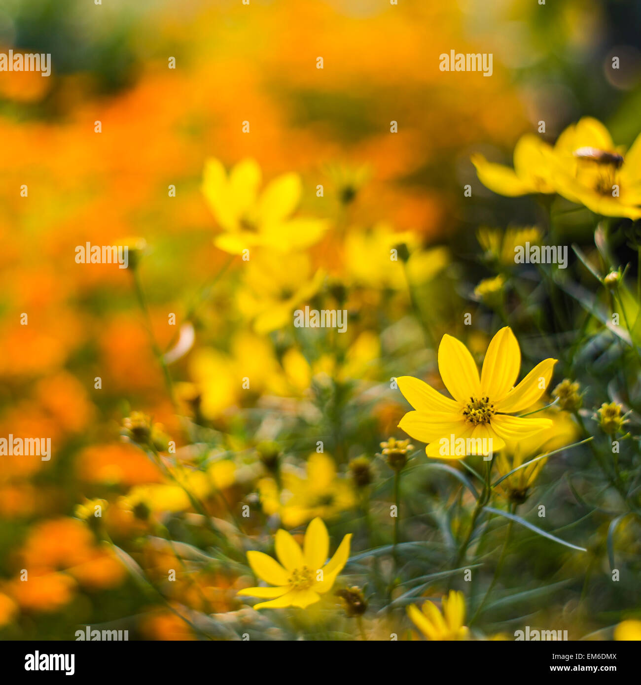 Cosmos flowers on softly blurred background - Stock Image
