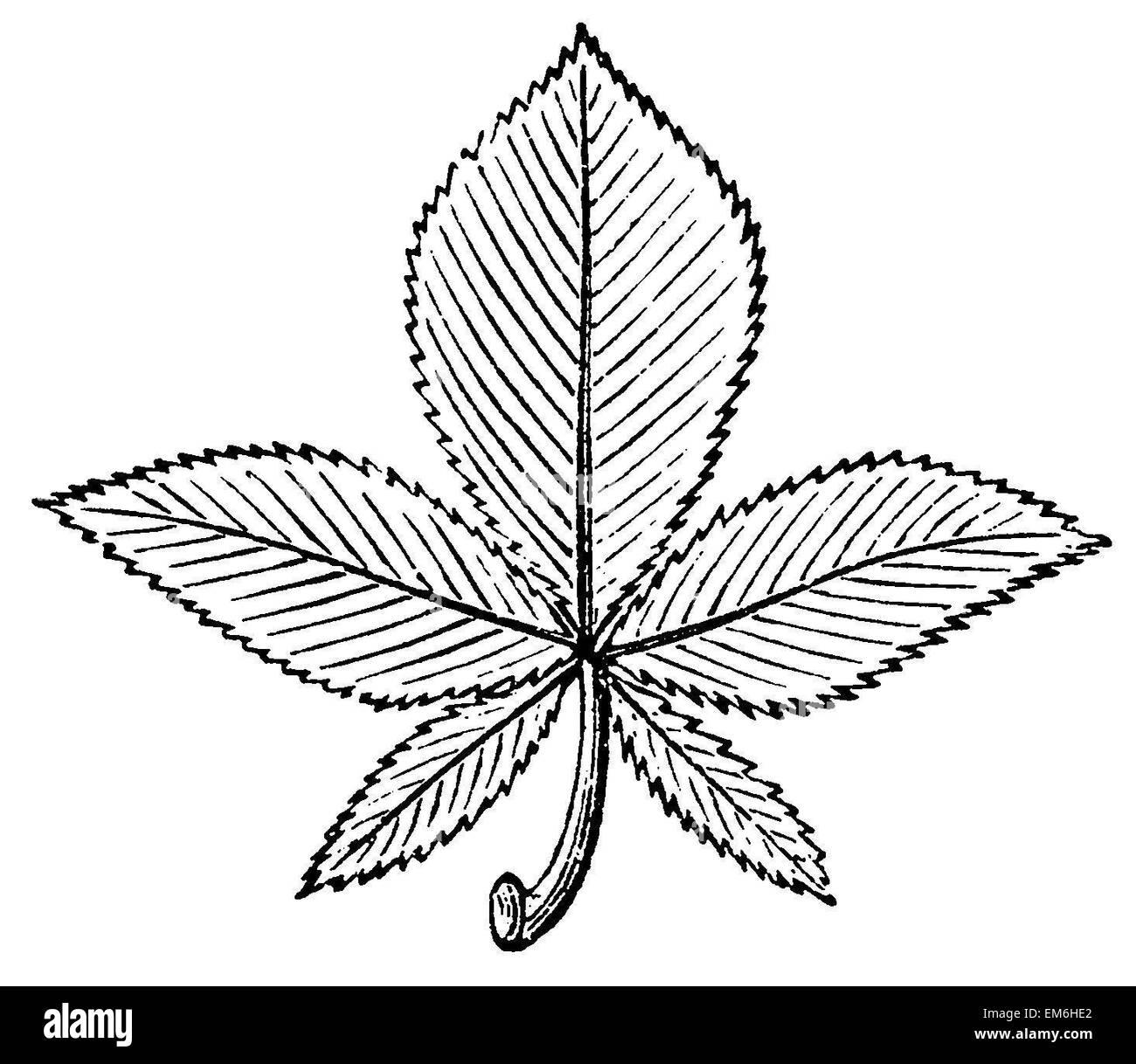 Buckeye: Leaf - Stock Image