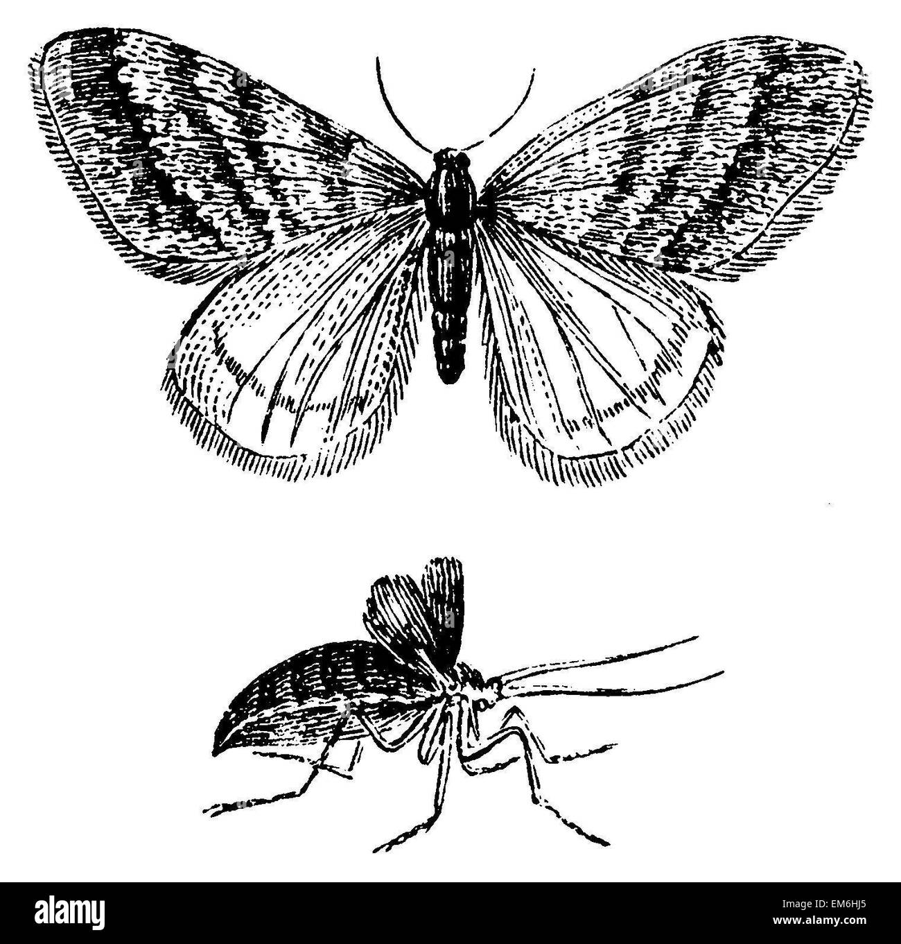 Winter Moth. Male and female - Stock Image