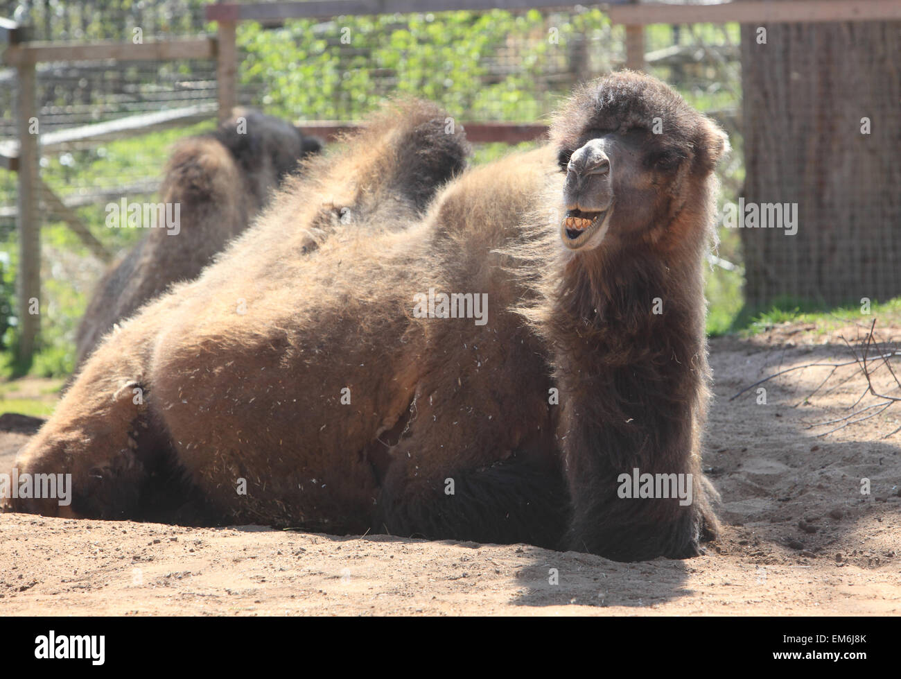 A Bactrian two humped camel, in Regent Park's London Zoo, in England, UK - Stock Image