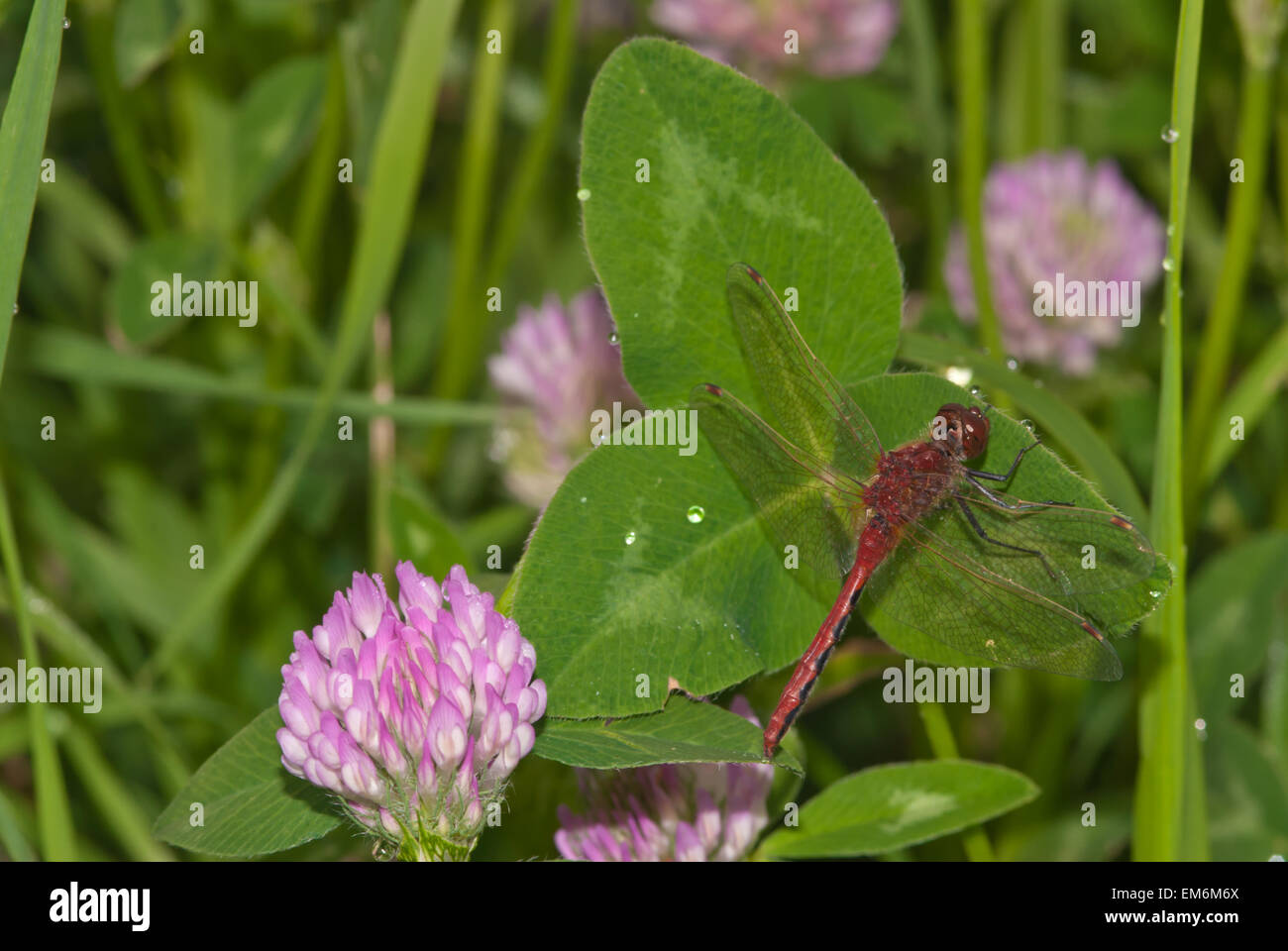 Cherry-faced meadowhawk, Sympetrum internum, perched on red clover, Triflolium pratense, Wagner Bog Natural Area, Stock Photo