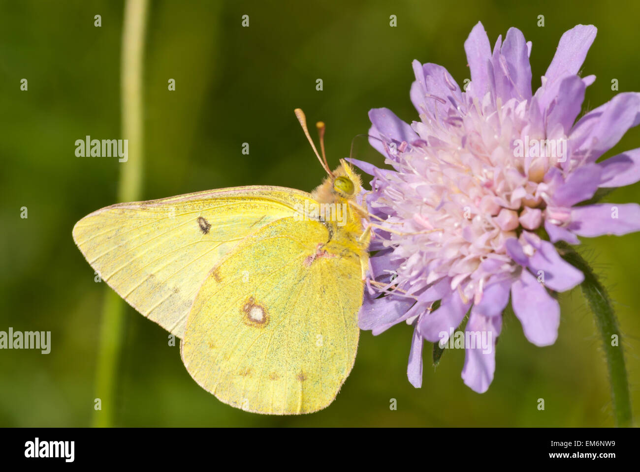 Clouded sulphur butterfly, Colias philodice, feeding from a field scabious flower, Riverlot 56 Natural Area, Alberta - Stock Image