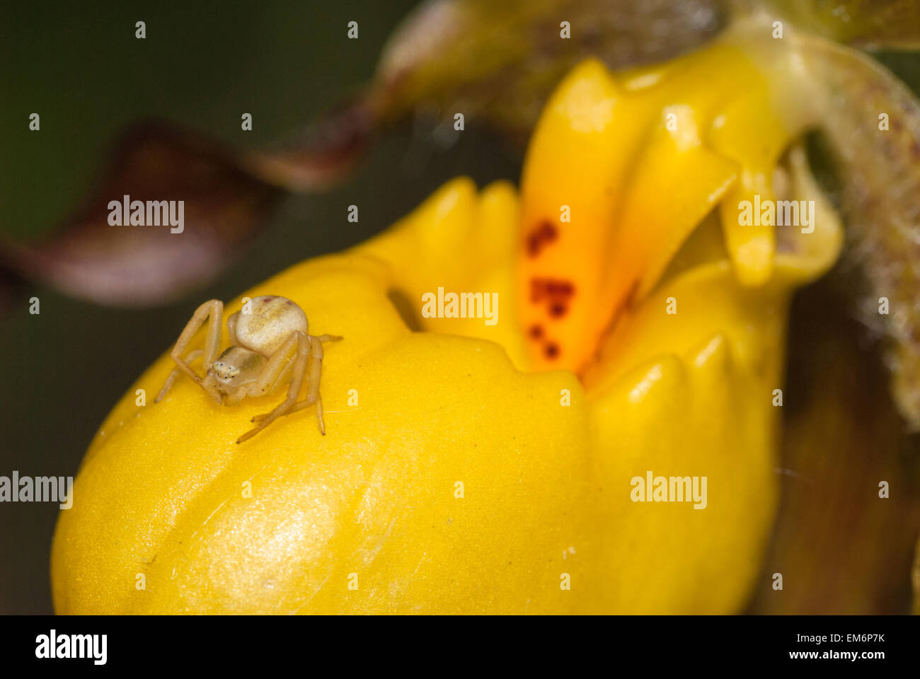 Yellow Lady Slipper Orchid Cypripedium Stock Photos Yellow Lady