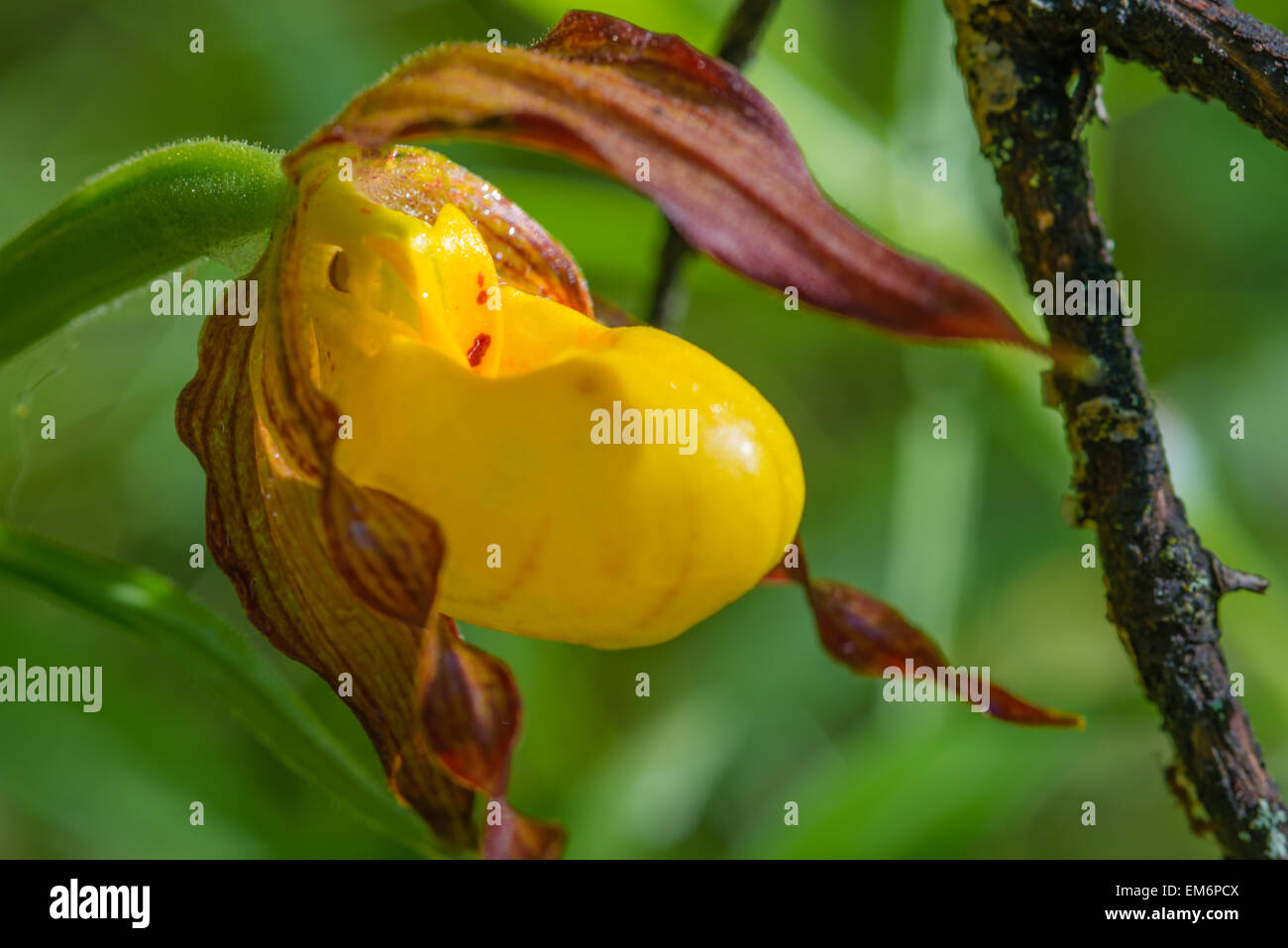 Closeup of a yellow lady slipper orchid, Cypripedium calceolus, growing in a woodland in Wagner Bog Natural Area, - Stock Image