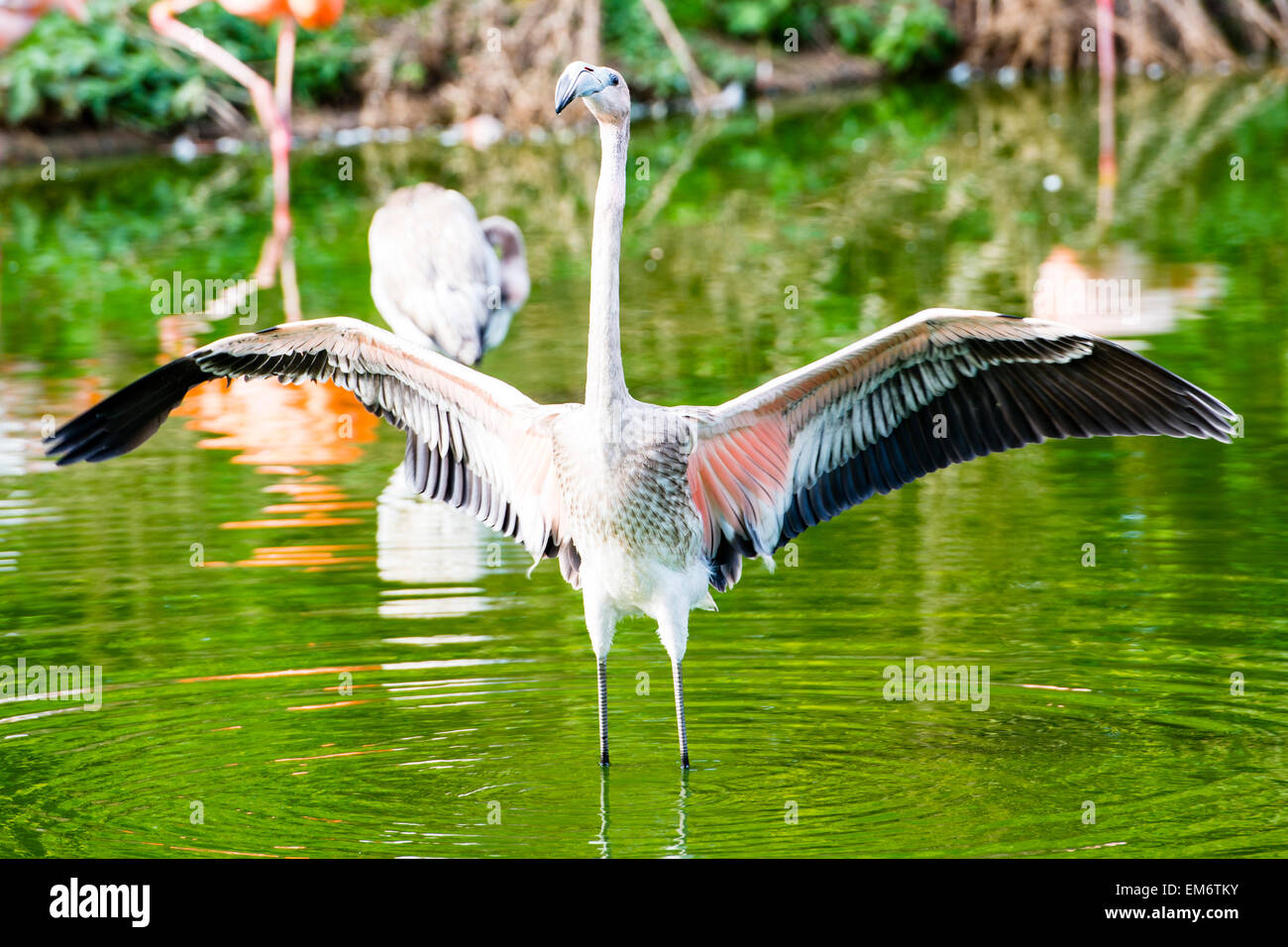 The greater flamingo is found in Africa, Asia, and Europe. Most of the plumage is pinkish-white. Stock Photo