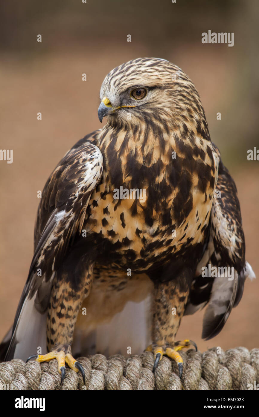 A rough legged hawk perched on a rope. - Stock Image