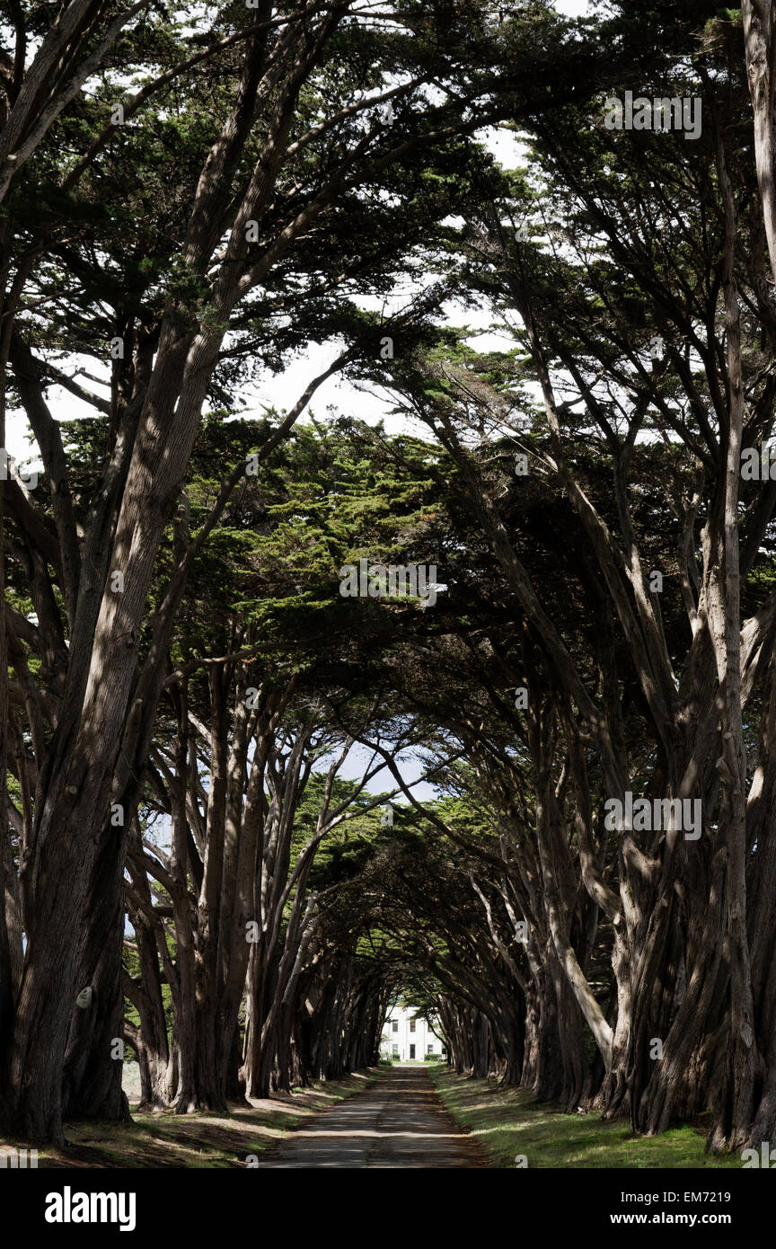 Driveway of Cypress trees in Point Reyes national seashore - Stock Image
