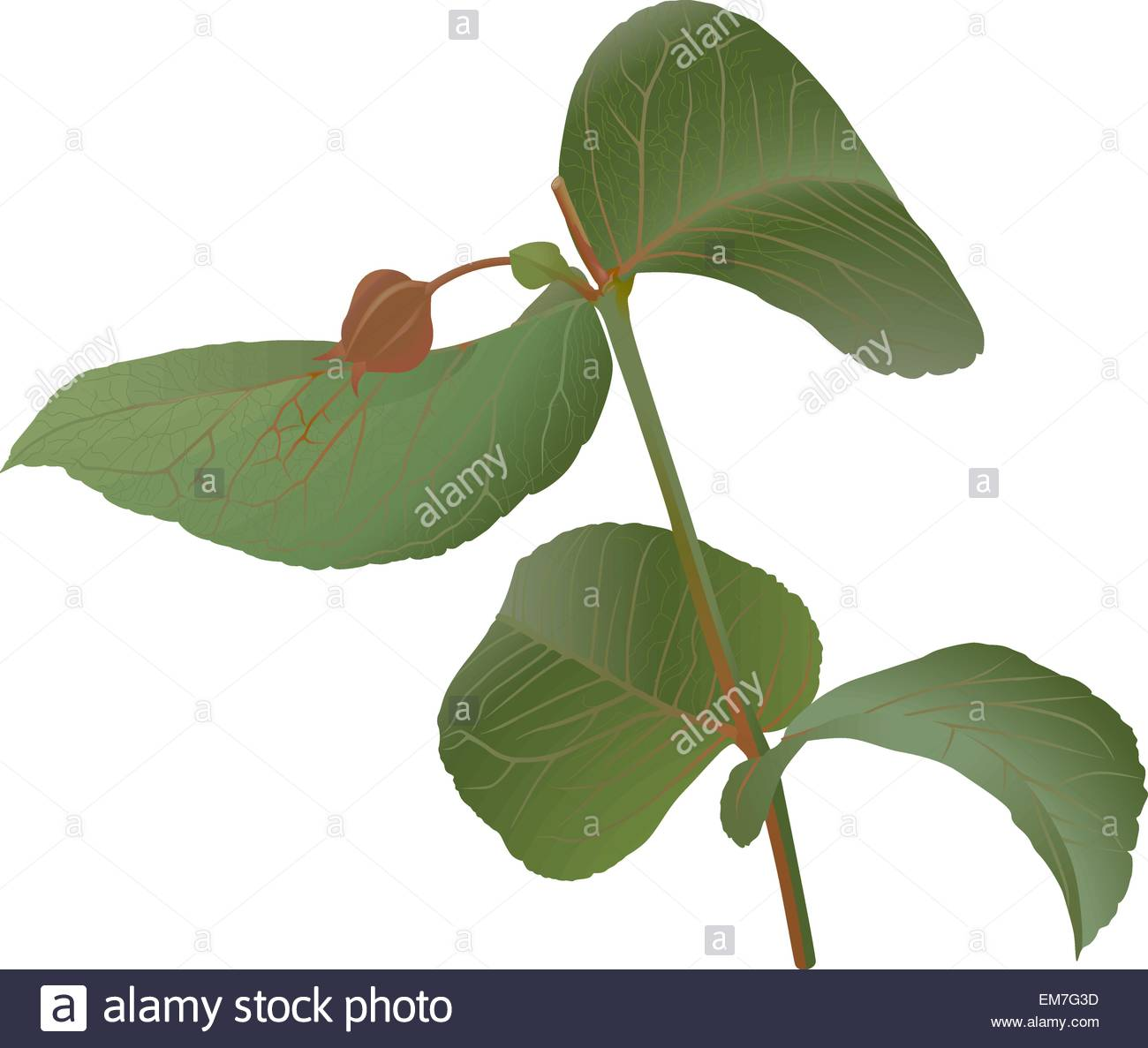Eucalyptus - Stock Vector