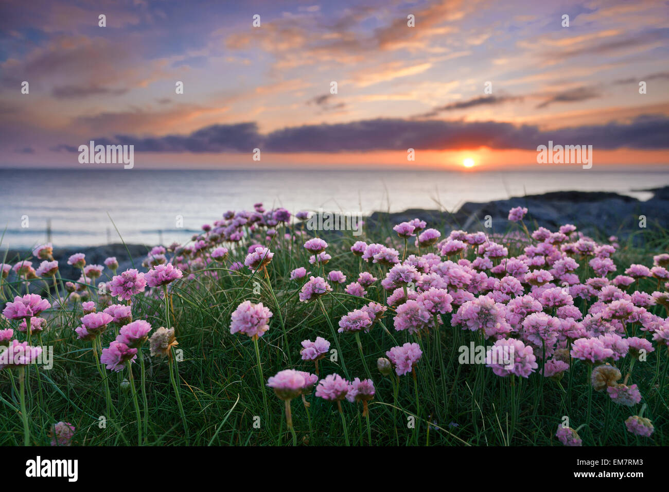 Pink flowers by the sea at sunset . Isle of Barra, Outer Hebrides, Scotland - Stock Image