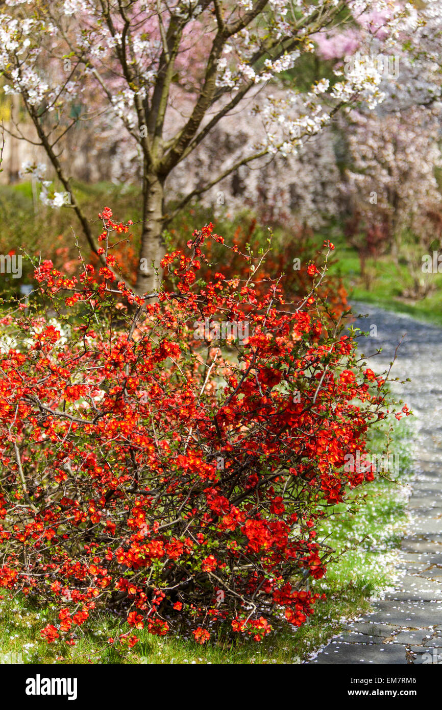 Blooming quince Chaenomeles japonica at a garden path, under flowering cherry tree, falling petals - Stock Image