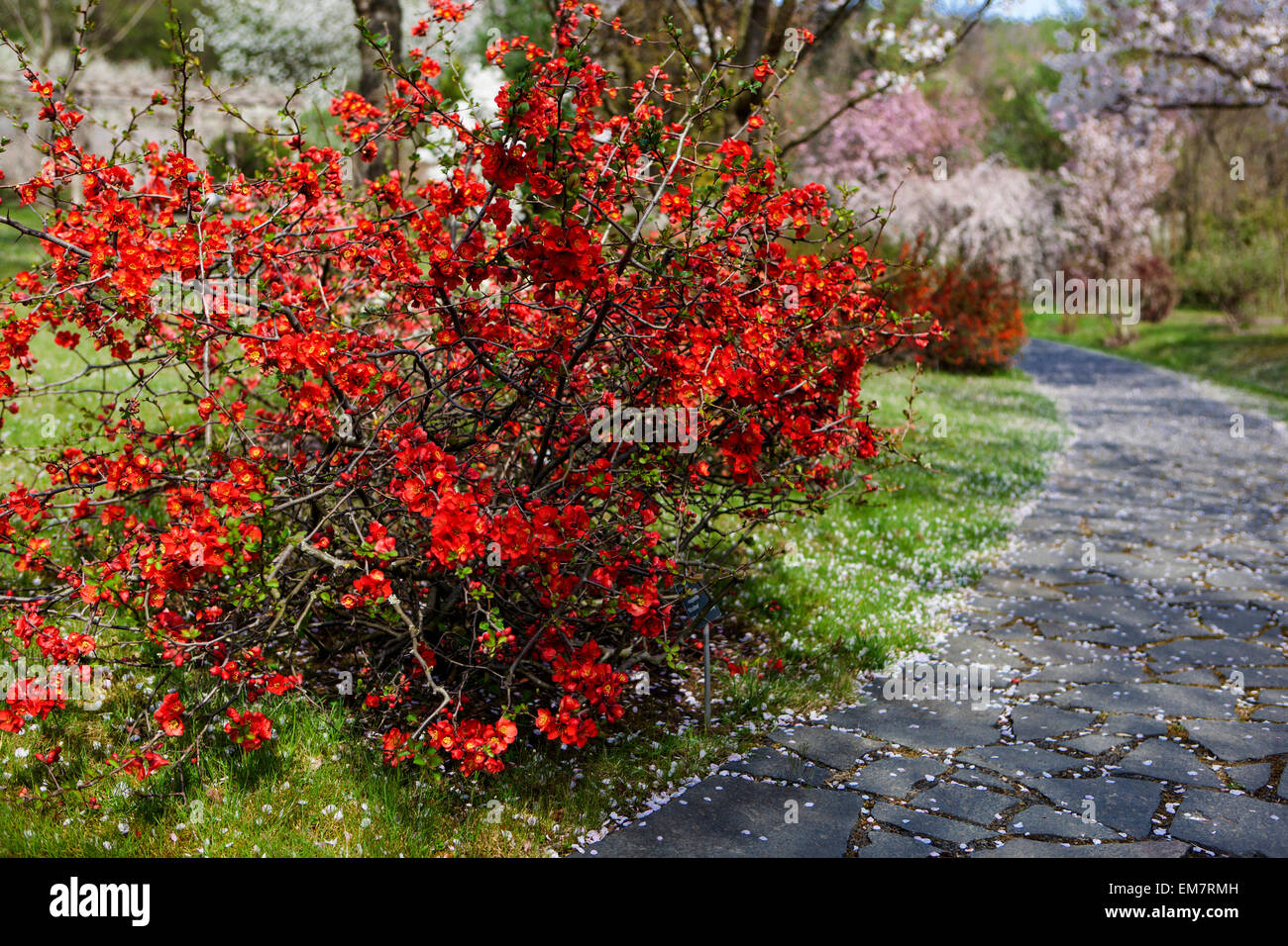Blooming japanese quince Chaenomeles japonica in a garden, under flowering cherry tree, falling petals - Stock Image