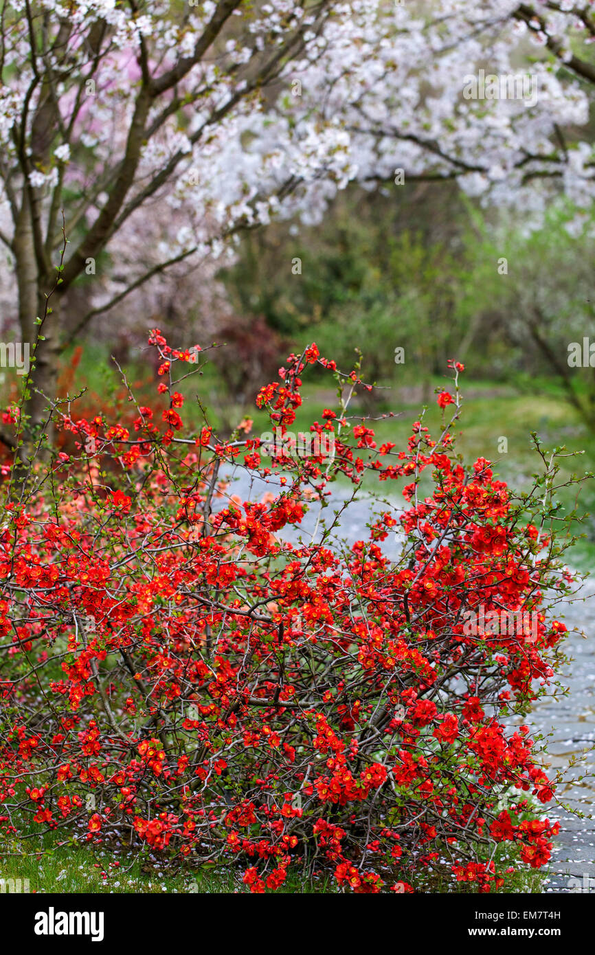 Blooming quince Chaenomeles japonica under flowering cherry tree, falling petals - Stock Image