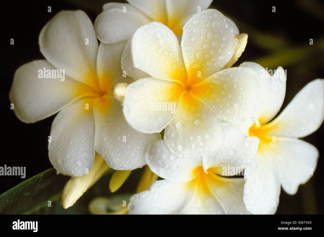 Hawaii plumeria flowers stock photo 81309595 alamy hawaii plumeria flowers izmirmasajfo