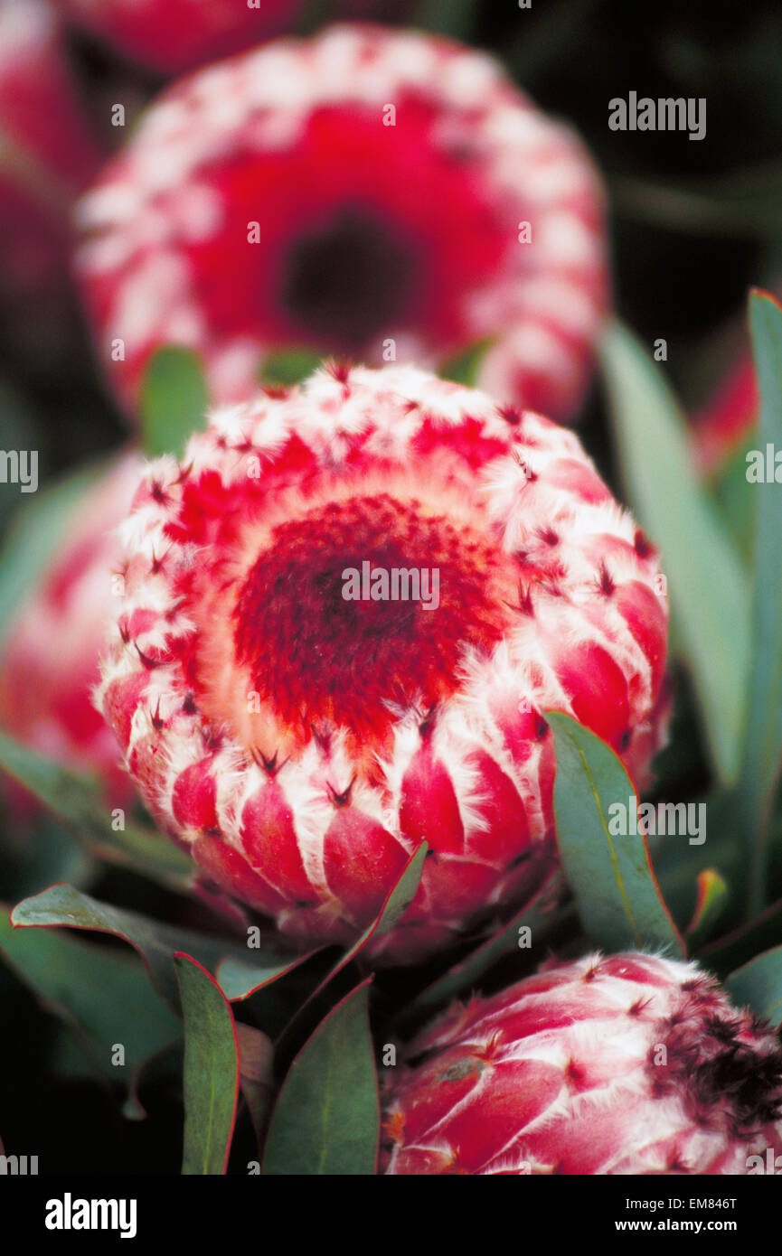 Pink mink protea stock photos pink mink protea stock images alamy close up of three dark pink mink protea blossoms soft focus stock image mightylinksfo
