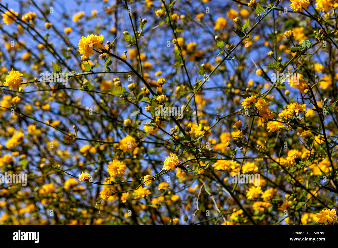 Kerria japonica, branch, spring, flower Stock Photo