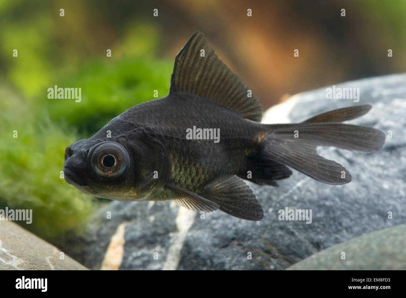 Carassius auratus Black Moon,Goldfisch,Goldfish Stock Photo