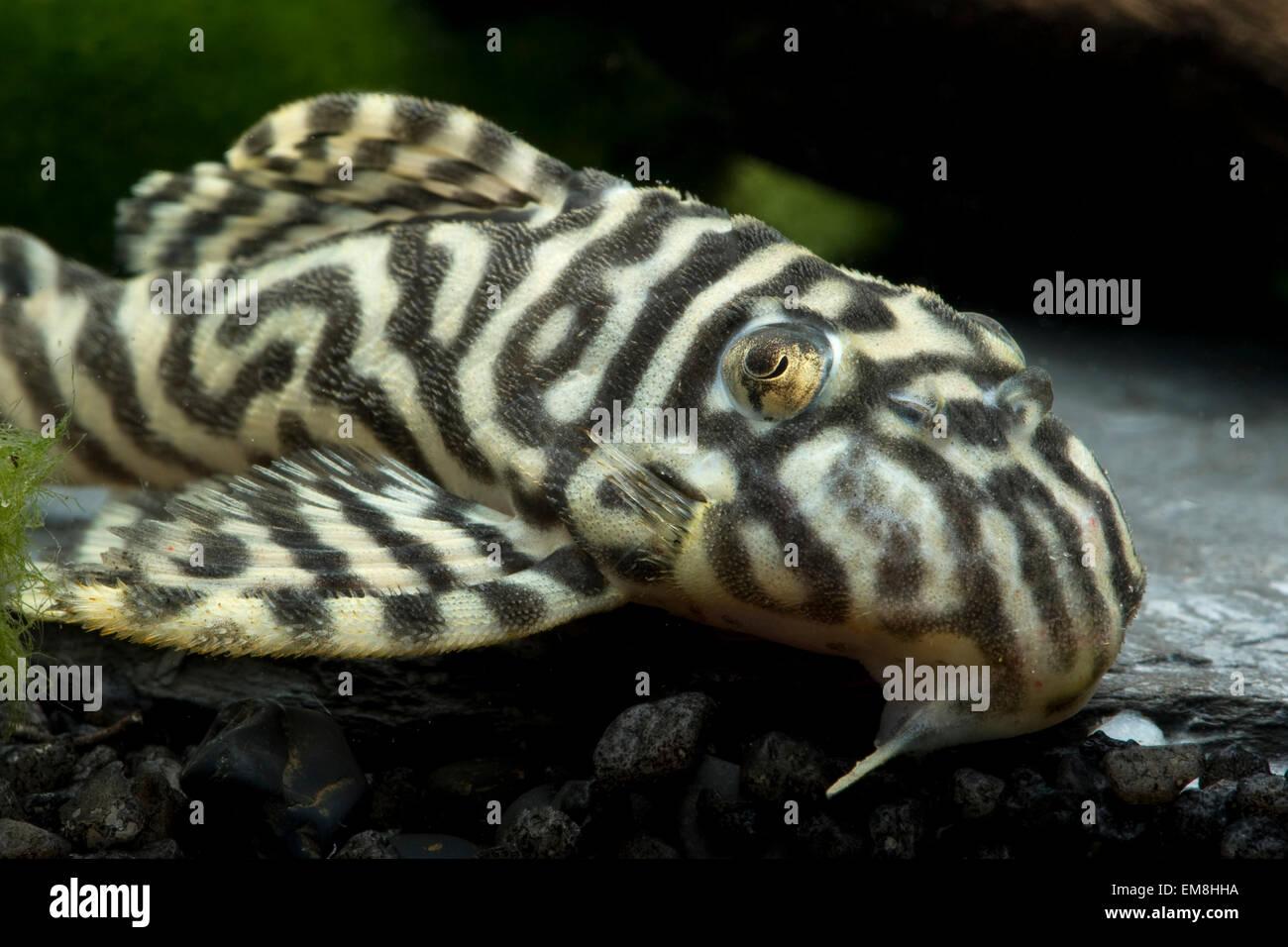 L 333 Hypancistrus spec.,Wels,Catfish Stock Photo