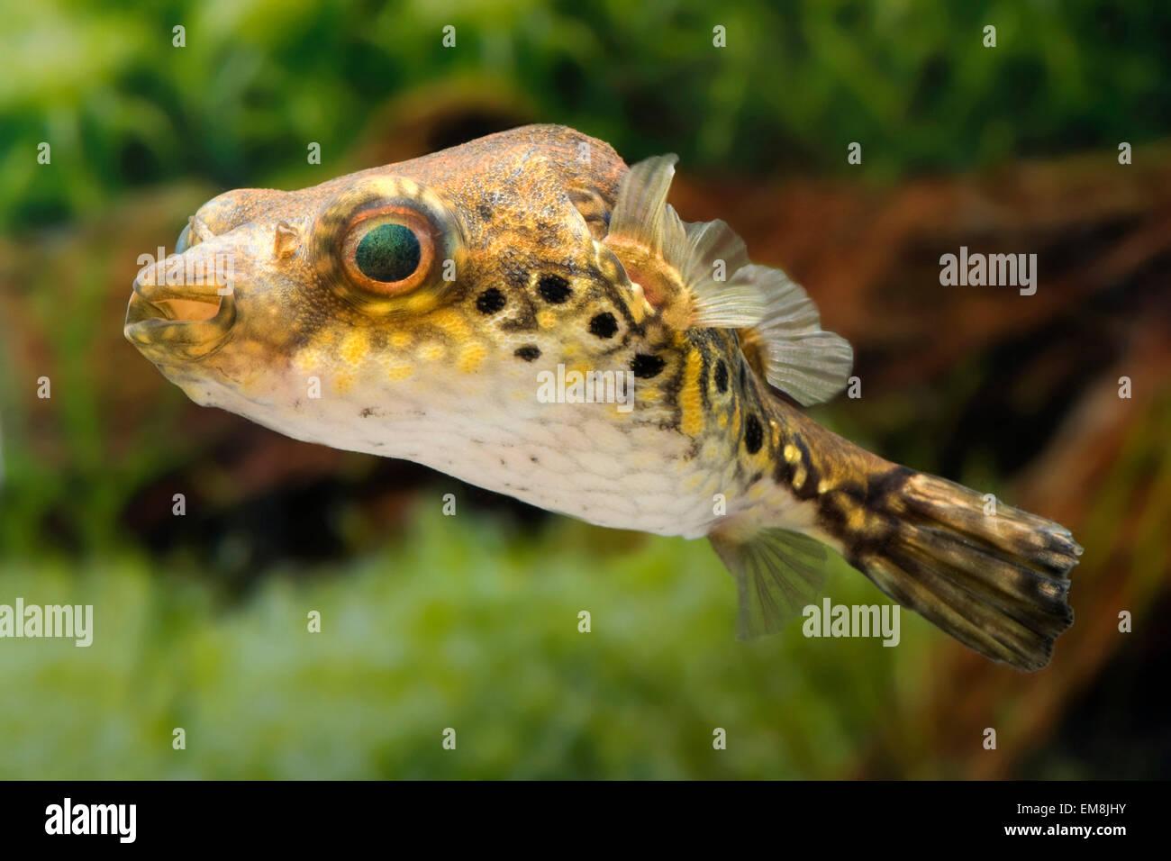 Pao palembangensis,Palembang-Kugelfisch,Humpback Puffer - Stock Image