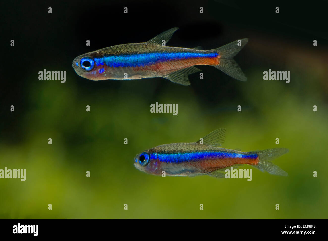 Fishes Tetra Stock Photos & Fishes Tetra Stock Images - Alamy