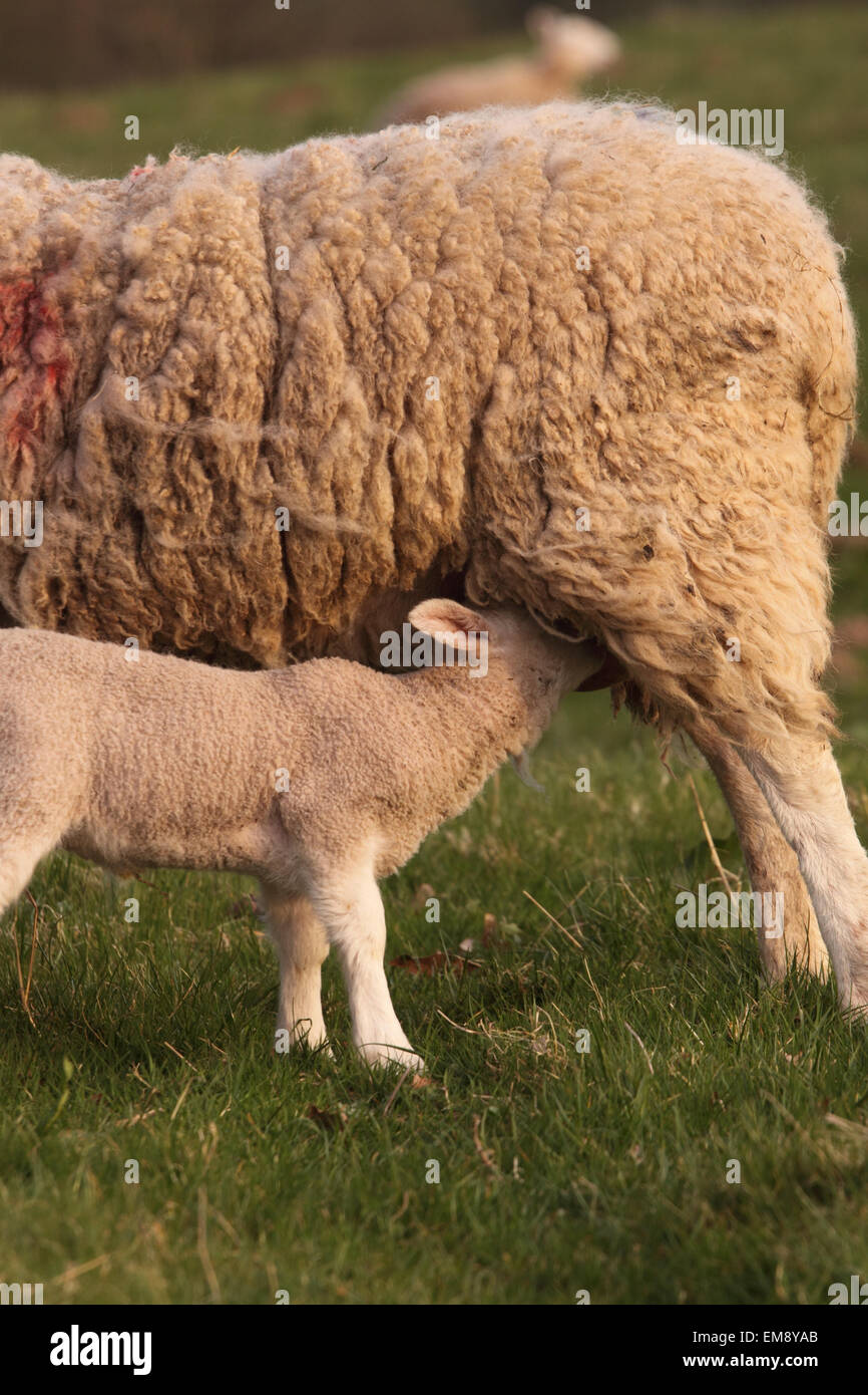 Lamb feeding from mother ewe sheep in spring April Herefordshire UK - Stock Image